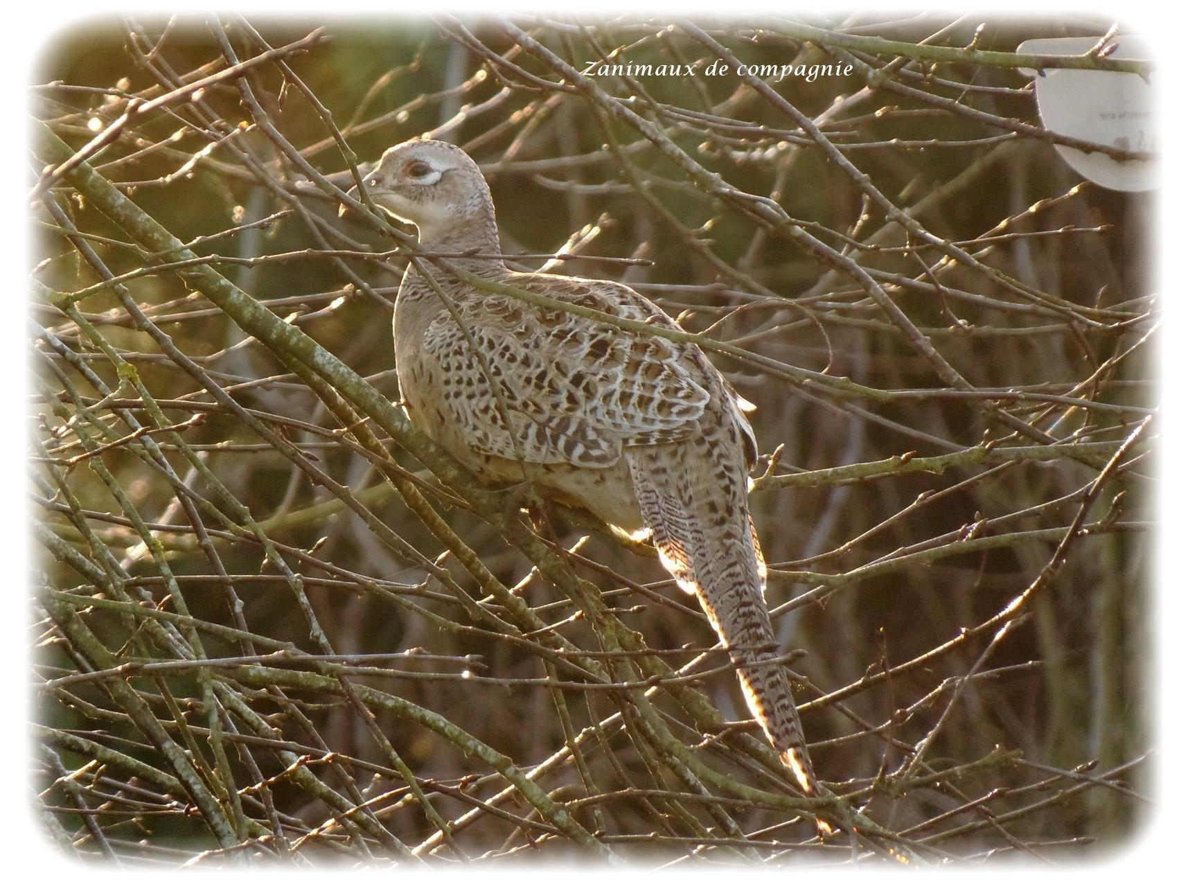 Une poule faisane en visite chez zanimaux zanimaux de for Le jardin katalog 2015