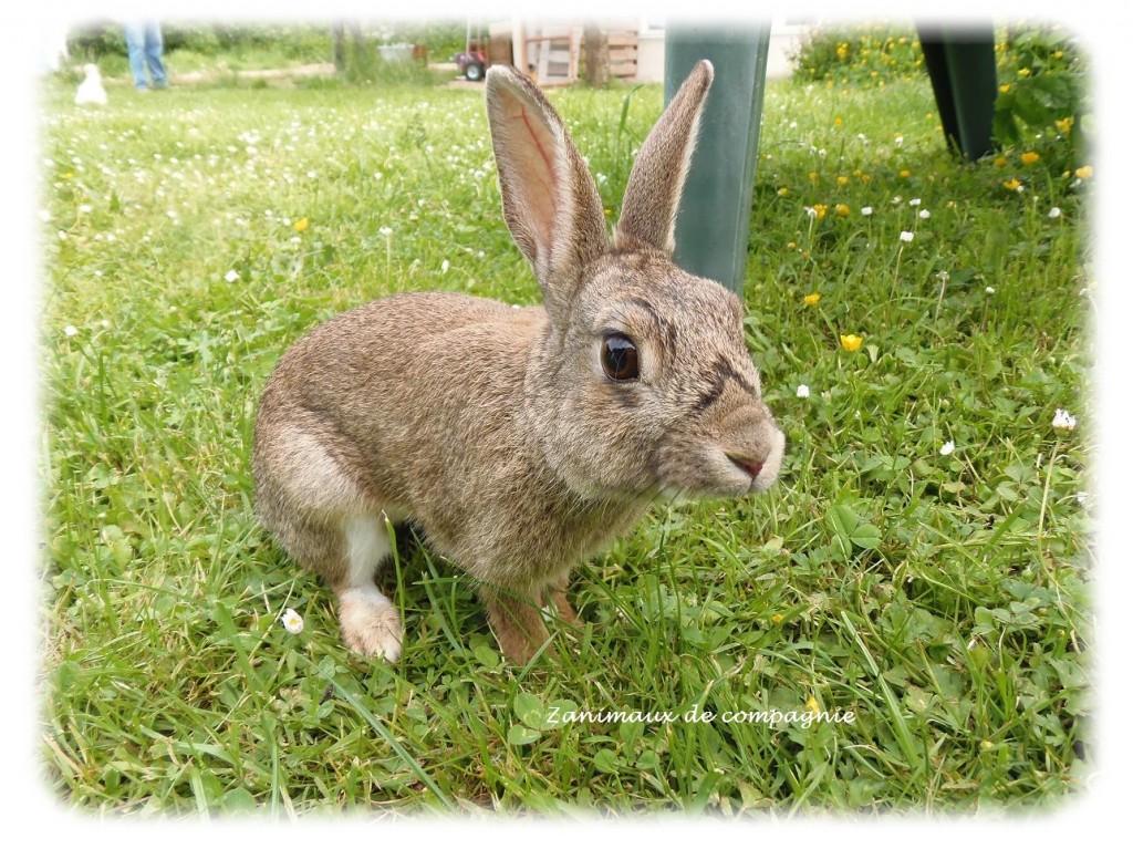 Lucky mon petit lapin de garenne zanimaux de compagnie - Le petit lapin s est sauve dans le jardin ...